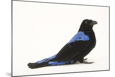 A Male Fairy Bluebird, Irena Puella, at Omaha's Henry Doorly Zoo-Joel Sartore-Mounted Photographic Print