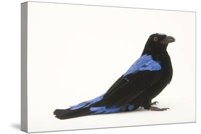 A Male Fairy Bluebird, Irena Puella, at Omaha's Henry Doorly Zoo-Joel Sartore-Stretched Canvas Print