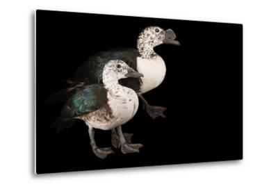 Two Knob Billed Ducks, Sarkidiornis Melanotos, at Sylvan Heights Bird Park-Joel Sartore-Metal Print