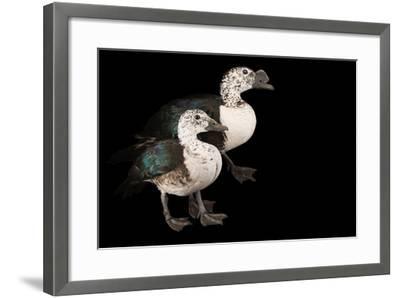 Two Knob Billed Ducks, Sarkidiornis Melanotos, at Sylvan Heights Bird Park-Joel Sartore-Framed Photographic Print