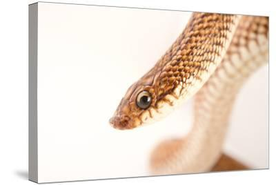 A Madagascar Speckled Hognose Snake, Leioheterodon Geayi, at Pet Paradise-Joel Sartore-Stretched Canvas Print
