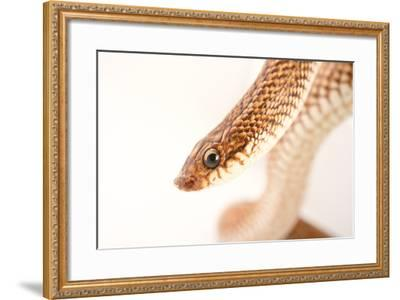 A Madagascar Speckled Hognose Snake, Leioheterodon Geayi, at Pet Paradise-Joel Sartore-Framed Photographic Print