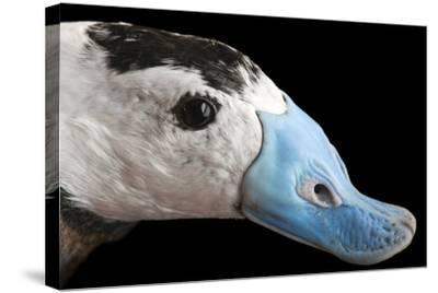 A Male White Headed Duck, Oxyura Leucocephala, at Sylvan Heights Bird Park-Joel Sartore-Stretched Canvas Print