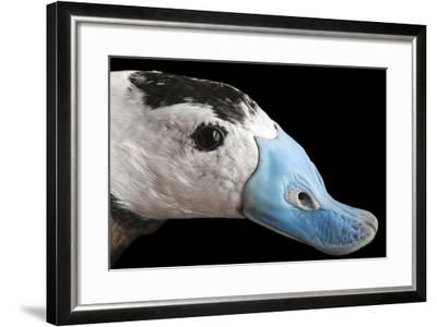 A Male White Headed Duck, Oxyura Leucocephala, at Sylvan Heights Bird Park-Joel Sartore-Framed Photographic Print