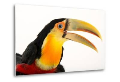 A Red Breasted Toucan, Ramphastos Dicolorus, at the Dallas World Aquarium-Joel Sartore-Metal Print