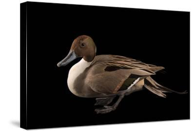 A Male Northern Pintail Duck, Anas Acuta, at the Sylvan Heights Bird Park-Joel Sartore-Stretched Canvas Print