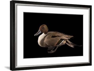 A Male Northern Pintail Duck, Anas Acuta, at the Sylvan Heights Bird Park-Joel Sartore-Framed Photographic Print