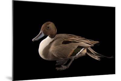 A Male Northern Pintail Duck, Anas Acuta, at the Sylvan Heights Bird Park-Joel Sartore-Mounted Photographic Print