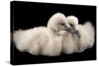 Four Week Old Female Black Necked Swans, Cygnus Melancoryphus-Joel Sartore-Stretched Canvas Print