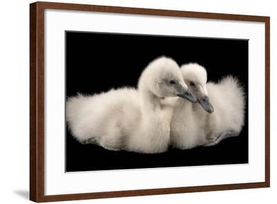 Four Week Old Female Black Necked Swans, Cygnus Melancoryphus-Joel Sartore-Framed Photographic Print