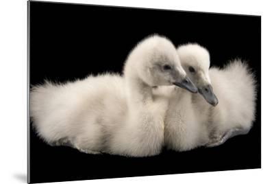 Four Week Old Female Black Necked Swans, Cygnus Melancoryphus-Joel Sartore-Mounted Photographic Print