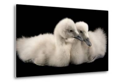 Four Week Old Female Black Necked Swans, Cygnus Melancoryphus-Joel Sartore-Metal Print