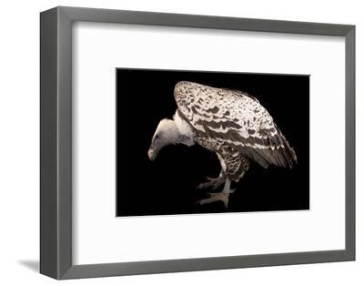 An Endangered Ruppell's Griffon Vulture at the Fort Wayne Children's Zoo-Joel Sartore-Framed Photographic Print