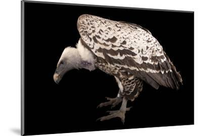 An Endangered Ruppell's Griffon Vulture at the Fort Wayne Children's Zoo-Joel Sartore-Mounted Photographic Print