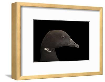 A Brent Goose, Branta Bernicla, at Sylvan Heights Bird Park-Joel Sartore-Framed Photographic Print