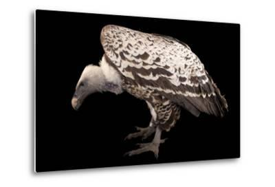An Endangered Ruppell's Griffon Vulture at the Fort Wayne Children's Zoo-Joel Sartore-Metal Print