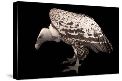 An Endangered Ruppell's Griffon Vulture at the Fort Wayne Children's Zoo-Joel Sartore-Stretched Canvas Print
