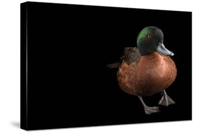 A Chestnut Teal, Anas Castanea, at Sylvan Heights Bird Park-Joel Sartore-Stretched Canvas Print