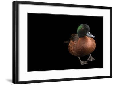 A Chestnut Teal, Anas Castanea, at Sylvan Heights Bird Park-Joel Sartore-Framed Photographic Print