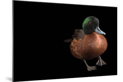 A Chestnut Teal, Anas Castanea, at Sylvan Heights Bird Park-Joel Sartore-Mounted Photographic Print