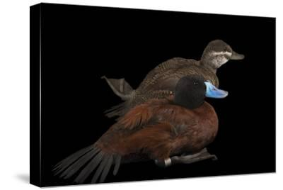 Two Lake Ducks, Oxyura Vittata, at Sylvan Heights Bird Park-Joel Sartore-Stretched Canvas Print