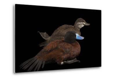 Two Lake Ducks, Oxyura Vittata, at Sylvan Heights Bird Park-Joel Sartore-Metal Print