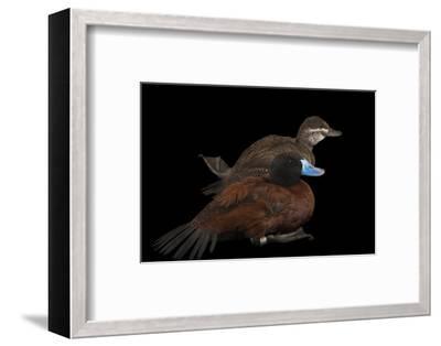 Two Lake Ducks, Oxyura Vittata, at Sylvan Heights Bird Park-Joel Sartore-Framed Photographic Print
