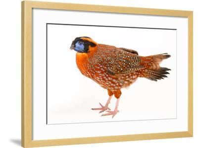 A Temminck's Tragopan, Tragopan Temminckii, at Sylvan Heights Bird Park-Joel Sartore-Framed Photographic Print