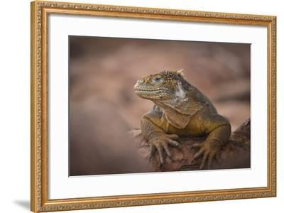 A Galapagos Land Iguana Next to a Prickly Pear Cactus on North Seymour Island-Jeff Mauritzen-Framed Photographic Print