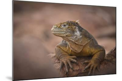 A Galapagos Land Iguana Next to a Prickly Pear Cactus on North Seymour Island-Jeff Mauritzen-Mounted Photographic Print