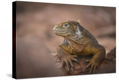 A Galapagos Land Iguana Next to a Prickly Pear Cactus on North Seymour Island-Jeff Mauritzen-Stretched Canvas Print