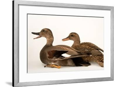 A Male and Female Gadwall, Anas Strepera, at Sylvan Heights Bird Park-Joel Sartore-Framed Photographic Print