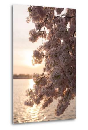 Close-Up of Cherry Blossom Petals in Full Bloom-Jeff Mauritzen-Metal Print