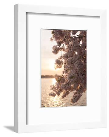Close-Up of Cherry Blossom Petals in Full Bloom-Jeff Mauritzen-Framed Photographic Print