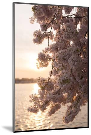 Close-Up of Cherry Blossom Petals in Full Bloom-Jeff Mauritzen-Mounted Photographic Print