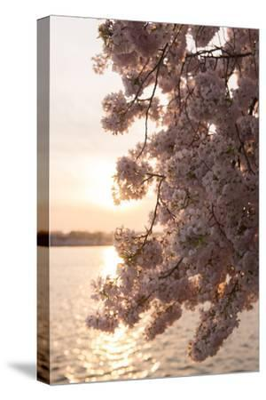 Close-Up of Cherry Blossom Petals in Full Bloom-Jeff Mauritzen-Stretched Canvas Print