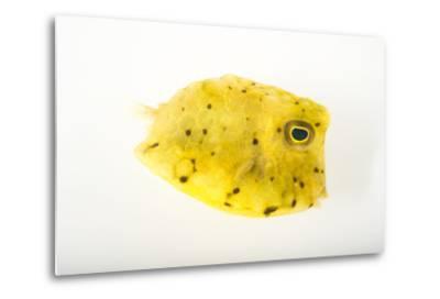 A Longhorn Cowfish, Lactoria Cornuta, at Pure Aquariums-Joel Sartore-Metal Print