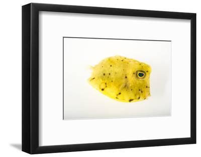 A Longhorn Cowfish, Lactoria Cornuta, at Pure Aquariums-Joel Sartore-Framed Photographic Print