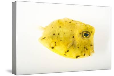 A Longhorn Cowfish, Lactoria Cornuta, at Pure Aquariums-Joel Sartore-Stretched Canvas Print