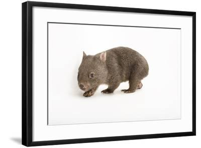 A Young Common Wombat, Vombatus Ursinus, at the Healesville Sanctuary-Joel Sartore-Framed Photographic Print