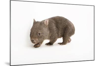 A Young Common Wombat, Vombatus Ursinus, at the Healesville Sanctuary-Joel Sartore-Mounted Photographic Print