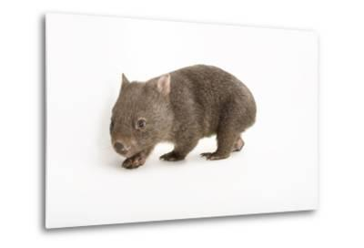 A Young Common Wombat, Vombatus Ursinus, at the Healesville Sanctuary-Joel Sartore-Metal Print