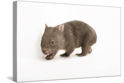 A Young Common Wombat, Vombatus Ursinus, at the Healesville Sanctuary-Joel Sartore-Stretched Canvas Print