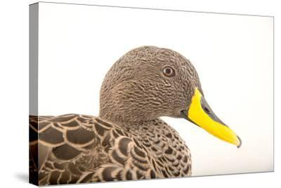 A Yellow Billed Duck, Anas Undulata, at the Sylvan Heights Bird Park-Joel Sartore-Stretched Canvas Print