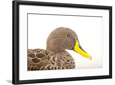A Yellow Billed Duck, Anas Undulata, at the Sylvan Heights Bird Park-Joel Sartore-Framed Photographic Print