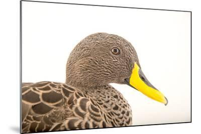A Yellow Billed Duck, Anas Undulata, at the Sylvan Heights Bird Park-Joel Sartore-Mounted Photographic Print