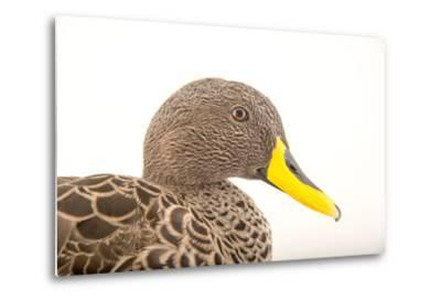 A Yellow Billed Duck, Anas Undulata, at the Sylvan Heights Bird Park-Joel Sartore-Metal Print