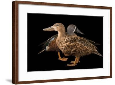 Australasian Shovelers, Anas Rhynchotis, at Sylvan Heights Bird Park-Joel Sartore-Framed Photographic Print
