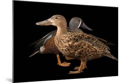 Australasian Shovelers, Anas Rhynchotis, at Sylvan Heights Bird Park-Joel Sartore-Mounted Photographic Print