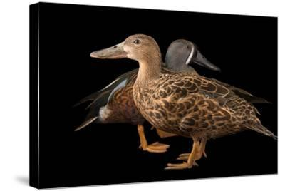 Australasian Shovelers, Anas Rhynchotis, at Sylvan Heights Bird Park-Joel Sartore-Stretched Canvas Print